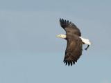 Pygargue à tête blanche -- Bald Eagle -- _E5H2104