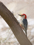 Pic à ventre roux -- CRW_3861 -- Red-bellied Woodpecker