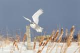 Harfang des neiges -- _E5H4276 -- Snowy Owl
