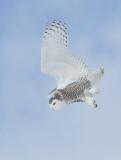 Harfang des neiges -- _E5H4062 -- Snowy Owl