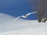 Harfang des neiges -- _E5H4442 -- Snowy Owl