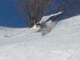 Harfang des neiges -- _E5H4446 -- Snowy Owl