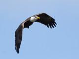 Pygargue à tête blanche -- _E5H2634 -- Bald Eagle