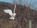 Harfang des neiges -- _E5H4363 -- Snowy Owl