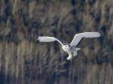 Harfang des neiges -- _E5H4382 -- Snowy Owl