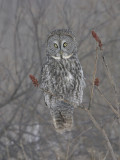 Chouette lapone -- 226_2660 -- Great Gray Owl