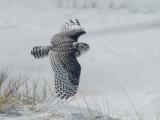 Harfang des neiges -- _E5H4475 -- Snowy Owl