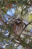 Petite Nyctale -- _MG_7007 -- Northern Saw-whet Owl