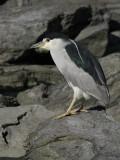 Bihoreau gris -- Black-crowned Night-Heron -- IMG_8732