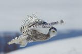 Harfang des neiges -- _E5H4606 -- Snowy Owl