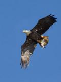Pygargue à tête blanche -- _E5H1514 -- Bald Eagle