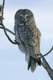 Chouette lapone -- _Z0U0560 -- Great Gray Owl