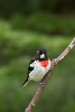 Cardinal à poitrine rose --- _E5H5753 --- Rose-breasted Grosbeak