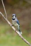 Geai bleu --- _E5H5234 --- Blue Jay