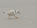 Pluvier siffleur - _E5H6954 - Piping Plover