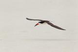 Bec-en-ciseaux --- _E5H7127 --- Black Skimmer
