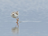 Pluvier siffleur - _E5H6962 - Piping Plover
