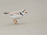 Pluvier siffleur - _E5H6136 -  Piping Plover