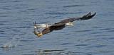 Pygargue à tête blanche ---_E5H4012 --- Bald Eagle