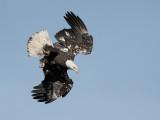Pygargue à tête blanche - _E5H3999 - Bald Eagle