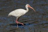 Ibis blanc - _E5H1245 - White Ibis