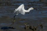 Aigrette neigeuse --- _E5H1376 --- Snowy Egret