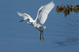 Aigrette neigeuse --- _E5H2315 --- Snowy Egret