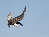 Pygargue à tête blanche --- _E5H4000 --- Bald Eagle