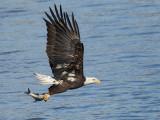 Pygargue à tête blanche - _E5H4013 - Bald Eagle