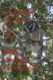 Nyctale de Tengmalm --- 221_2128 --- Boreal Owl