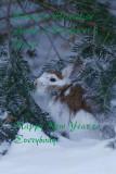 Lièvre d'Amérique --- _E5H4756 --- Snowshoe Hare