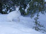 Lièvre d'Amérique - _E5H5138 - Snowshoe Hare