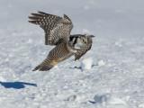Chouette épervière -- _E5H5374 -- Northern Hawk Owl