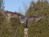 Chouette lapone - _E5H5559 - Great Gray Owl