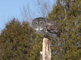 Chouette lapone - _E5H5557 - Great Gray Owl