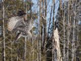 Chouette lapone - _E5H5414 - Great Gray Owl