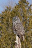 Chouette lapone --- _E5H5602 --- Great Gray Owl