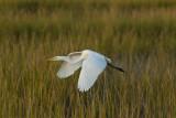 Grande Aigrette --- _E5H1913 --- Great Egret
