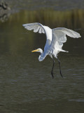 Grande Aigrette - _E5H2193 - Great Egret