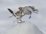 Bruant des neiges - _E5H5936 - Snow Bunting