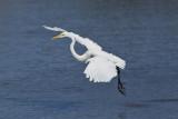 Grande Aigrette --- _E5H2211 --- Great Egret