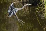 Grand Héron --- _E5H2490 --- Great Blue Heron