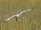 Ibis blanc - _E5H1532 - White Ibis