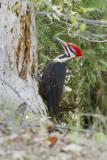 Grand Pic --- _E5H6641 --- Pileated Woodpecker