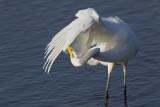 Grande Aigrette --- _E5H3561 --- Great Egret