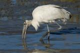 Tantale d'Amérique --- _E5H1416 --- Wood Stork