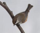 Mésange à tête brune - 0V3A1812 - Boreal Chickadee
