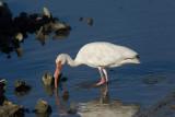 Ibis blanc --- _E5H1450 ---  White Ibis