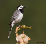 White Wagtail - Witte Kwikstaart