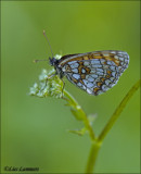 Heath Fritillary - Bosparelmoervlinder_MG_4830